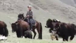 Как горцы доят яков