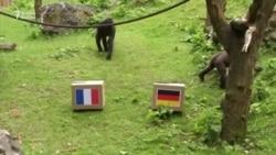 Qorillalar Fransa-Almaniya oyununun çətin olacağını deyirlər