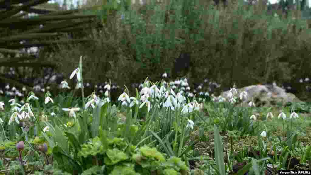 На Приморском бульваре цветут подснежники