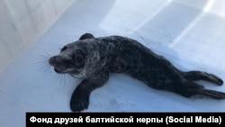 Нерпа Гыр-Гыр, которую спасли после инсульта экологи Фонда друзей балтийской нерпы
