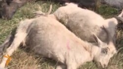 Hundreds Of Sheep Die Mysteriously In Kazakhstan