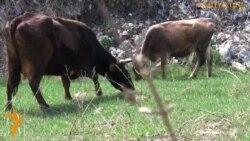 Коровы на свалке на краю Алматы