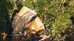 Вырубленные деревья в Карагандинской области