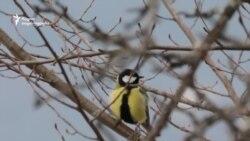 ვაშლები ჩიტებისთვის