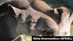 Во время карантина алматинский зоопарк организовывал в Сети онлайн-экскурсии. Любимцами многих виртуальных посетителей стали тапиры.