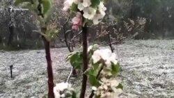 После апрельских заморозков крымчане могут остаться без фруктов и ягод (видео)