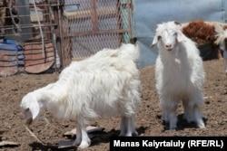 Животным из-за отсутствия кормов в Мангистауской области дают картон. Зимовка Кауымды