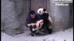Pandaların dərman etirazı (Rus dilində)