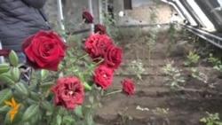 Нарын: кышта гүлдөгөн роза