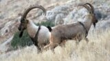"""The bezoar ibex is thought to be the common ancestor of all modern domestic goats, and it was the species that the ancient humans in this study """"transitioned"""" to captivity."""