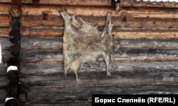 Шкура оленя на стене