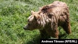 Urs fotografiat la sanctuarul Libearty din Zărnești, România.