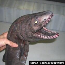 A fodros cápák az angolnákhoz hasonló, hullámzó mozgással haladnak a vízben, és főleg tintahalakat fogyasztanak, rengeteg, háromszög alakú fogukkal.