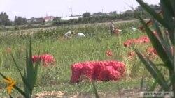 Հայաստանյան արտադրողները ստիպած են «ինքնարժեքով կամ ավելի ցածր գնով վաճառել վաղահաս կարտոֆիլը»