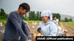 Картөшкө өндүрүүчүлөр. АКШнын Эл аралык өнүгүү боюнча агенттиги (USAID) берген сүрөт. Иллюстрация.