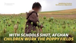 With Schools Shut, Afghan Children Work The Poppy Fields