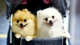 THAILAND -- Two Pomeranian dogs ride in a pushcart during the Thailand International Dog Show 2015 in Bangkok, Thailand, 28 June 2015.