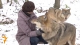 Living With Wolves In Northern Belarus