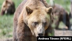 La Sanctuarul Libearty de la Zărnești se găsesc urși care au fost ținuți în captivitate sau prinși pe lângă case și pensiuni. Aceasta nu este însă o soluție pentru toți urșii vizați de noua reglementare a Executivului.