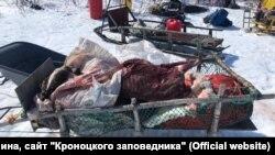 Туши оленей, убитых браконьерами в Корякском заповеднике