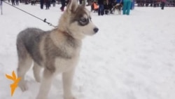 Huskies Race For Tatarstan's 'Golden Sleigh'