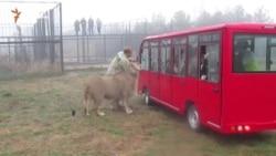 Китайські туроператори в парку левів «Тайган» (відео)