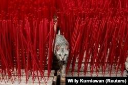 Напередодні святкувань кішка пролізла на майданчик, де сушать аромапалички, на фабриці в Тангерангу неподалік Джакарти, Індонезія, 10 лютого 2021 року